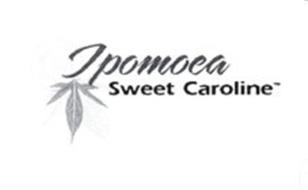 IPOMOEA SWEET CAROLINE