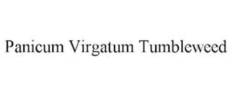 PANICUM VIRGATUM TUMBLEWEED