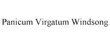 PANICUM VIRGATUM WINDSONG